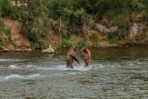 Alaska Grizzly beren
