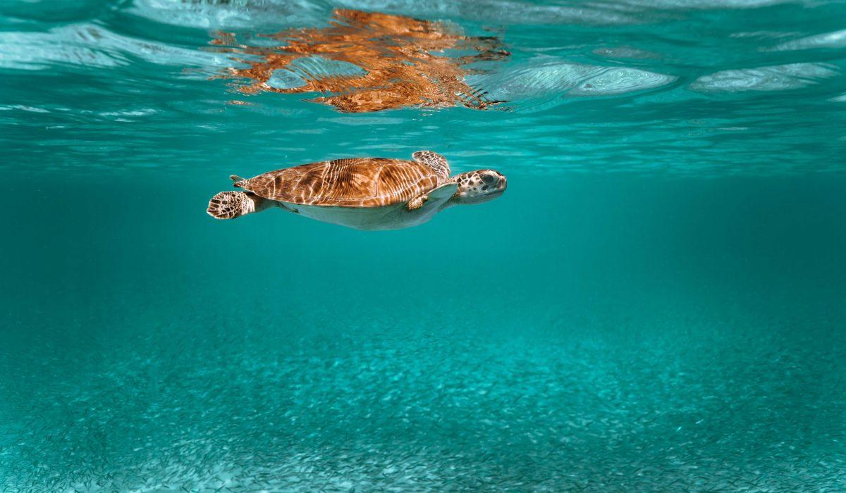 Aruba schildpad
