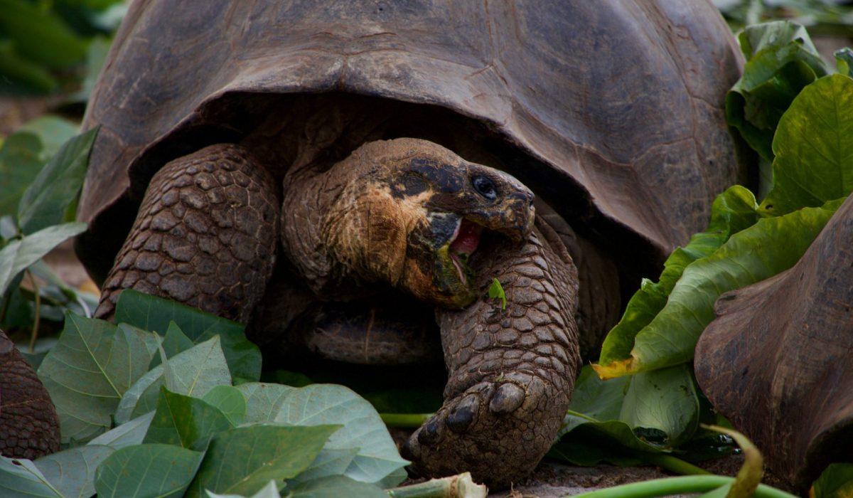 Galapagos schildpad