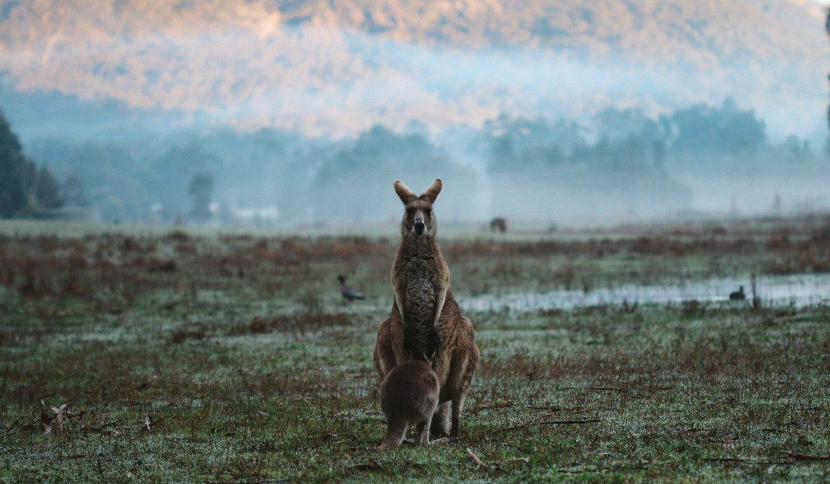 Grampians kangoeroe