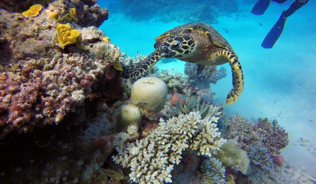 Great Barrier Reef schildpad