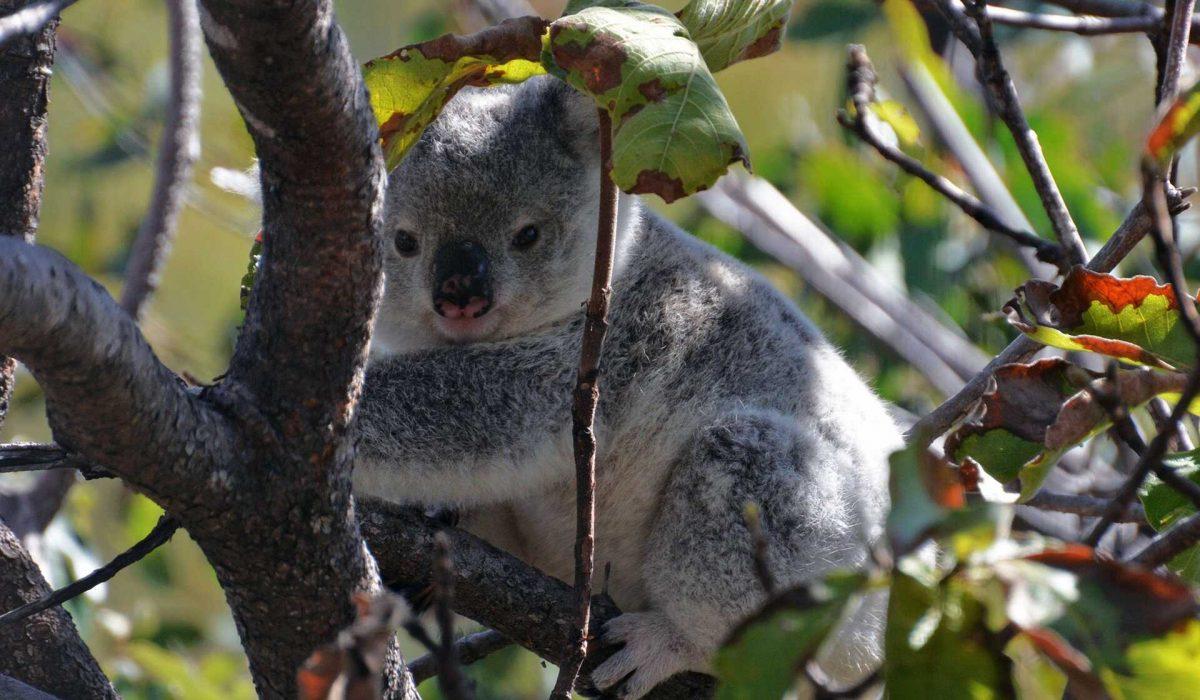 Magnetic Island koala