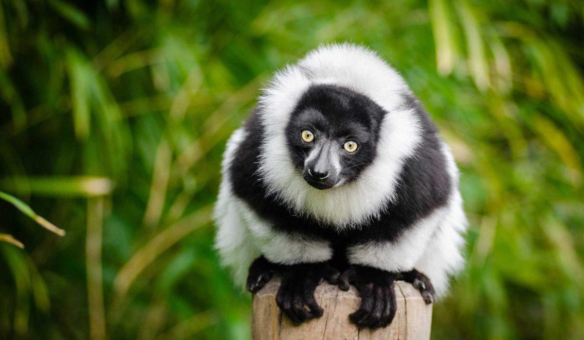 Ranomafana Lemur