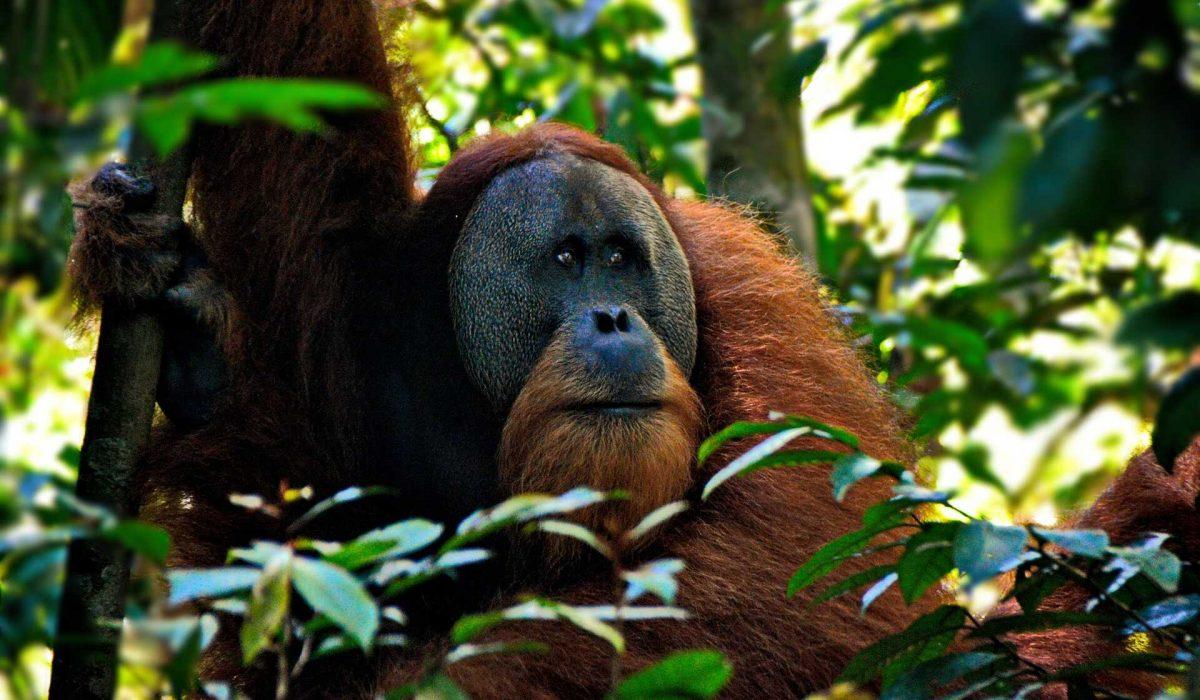 Sumatra Gunung Leuser